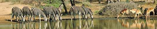 animals drinking at a water-hole in kwazulu natal, panorama