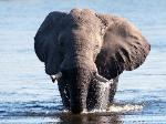 botswana bull elephant in the water